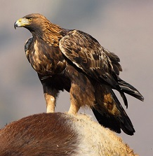 Беркут (лат. Aquila chrysaetos)