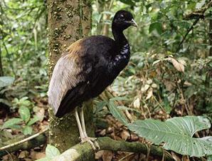 трубач птица