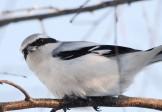 Птица-палач
