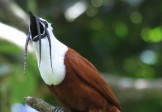 Птица-звонарь