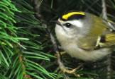 Птица-гвоздик